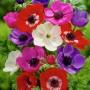 Anemone coronaria De Caen mixed