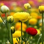 Лютик / Ranunculus