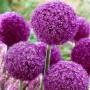 Allium Giganteum Lucy Ball-2