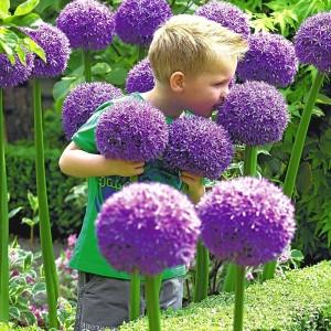 Allium Giganteum Lucy Ball