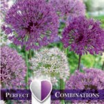 Combi Allium Large Ball Blend