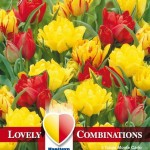 Combi Tulip Double Yellow&Red