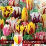 Combi Tulip Fireworks