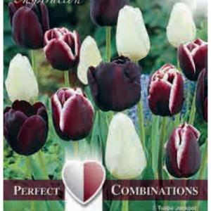 Combi Tulip Triumph Black Blend
