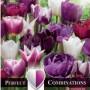 Combi Tulip Violet & White Blend