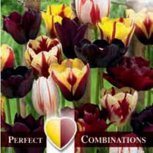 Combi tulip Mystic Blend