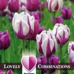 Combi_Tulip_Purple_&_White