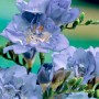 Double-blue
