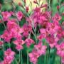 Gladiolus 'Byzantinus'