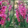 Gladiolus_byzantinus1