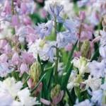 Hiacinthoides