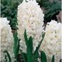 Hyacinth Carnegie_enl