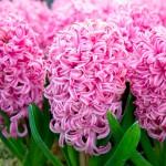 Hyacinth Pink Pearl1