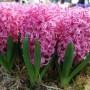 Hyacinth Pink Pearl3