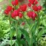 Tulipa Merry go Round