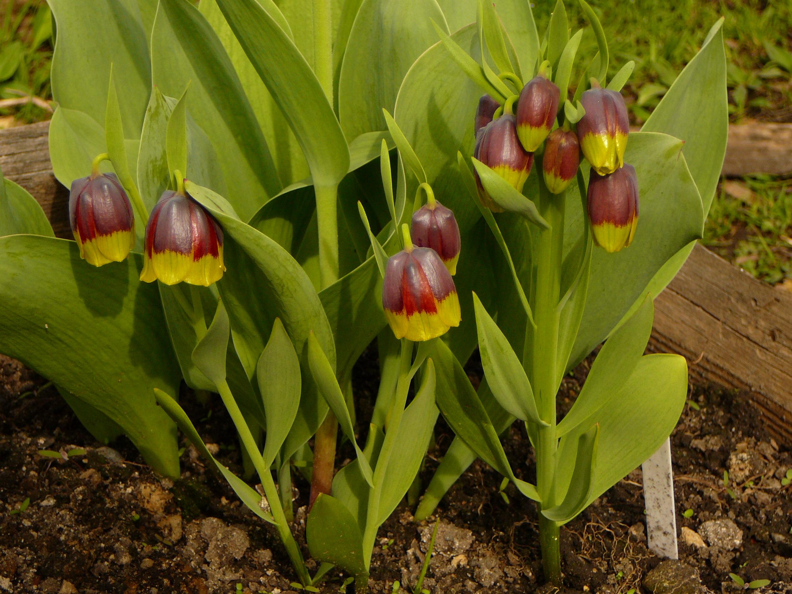 Луковичные цветы (85 фото характеристика, особенности)