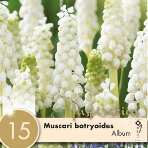 Muscari Album