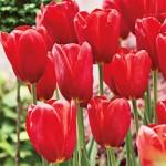 Sky-High-Scarlet-Tulip