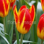 TULIPA SPANISH FLAG