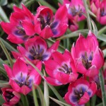 Tulipa Little Beauty1