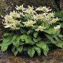 sizedErythronium californicum White Beauty2